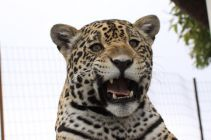Tequila the jaguar