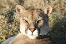 pumas are also known as cougar cats