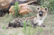 Jukani hyena named Dot
