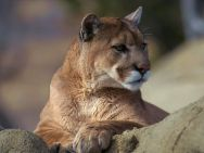 cougars are endangered