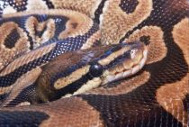 Snakes use their front fangs to hold (not chew) their prey