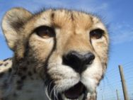 cheetah close-up