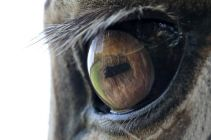 zebra eye close-up