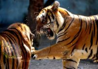 Bengal tigers playing