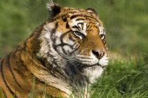 Bengal tiger profile