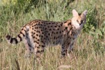 Chico the serval cat