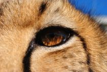 cheetah close-up of eye
