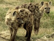 pair of hyenas