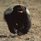honey badger running