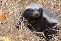 known in Afrikaans as a Ratel