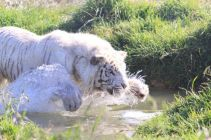 Angelo the blind white tiger