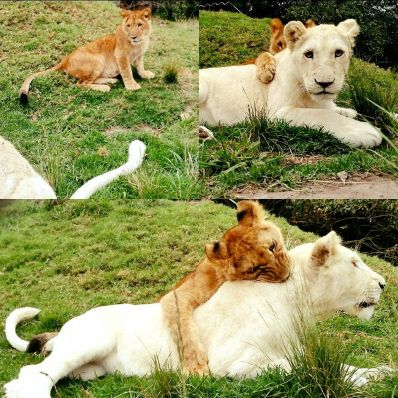 Lionesses Lia and Elsa growing strong
