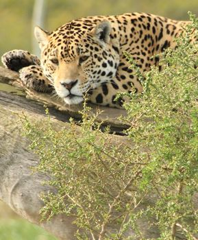 Jaguars Are Found In The Southern Part Of North America And South America.  You Will Find Melanistic Jaguars (Jaguars That Are All Black) However Not  As ...
