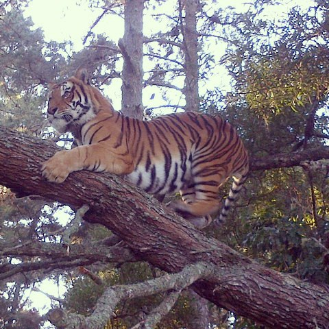 Tree climbing tiger at Jukani