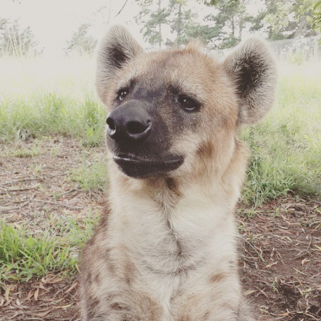 Dot looking for Spot Hyena at Jukani