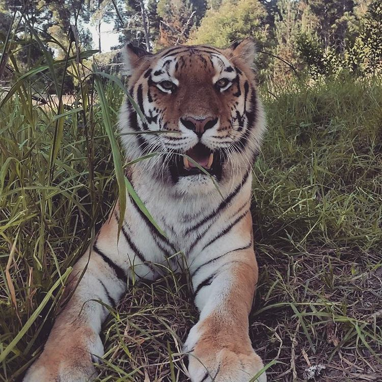 Tiger relaxing at Jukani