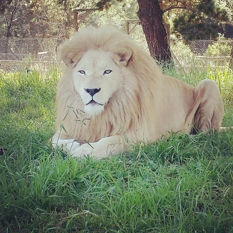 White lion lounging at Jukani