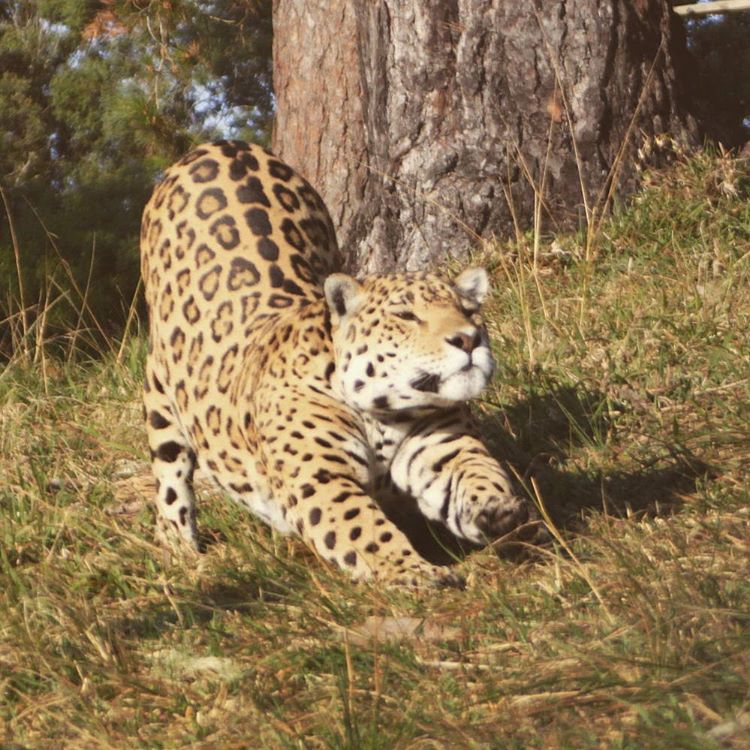 Jaguar stretching at Jukani